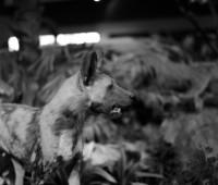 Une hyène à Genève.