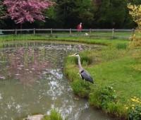 Un héron en visite au parc Bertrand