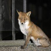 Un renard vu sur la place du 150ème à Onex