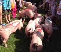 La course de cochons, star de la vogue de Jussy