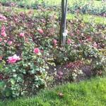 Roseraie Parc la Grange