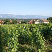 Une randonnée à travers les vignes