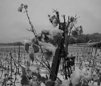 Vignoble à Dardagny