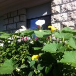 Fleurs à la rue de Veyrier. © Maryelle Budry