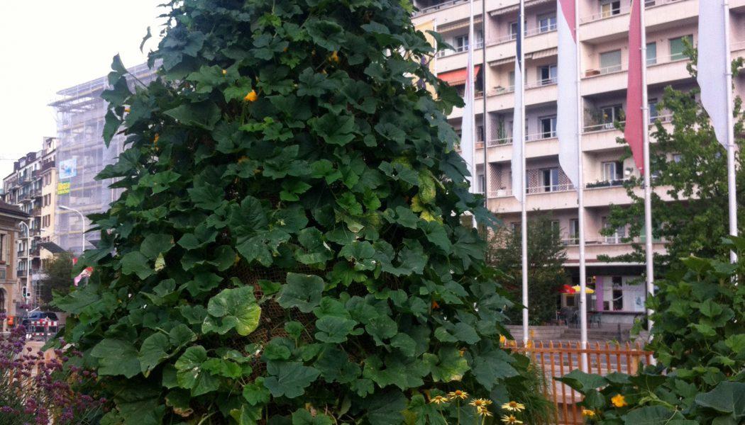 L'arbre à courges de la place de l'Octroi à Carouge. © Maryelle Budry