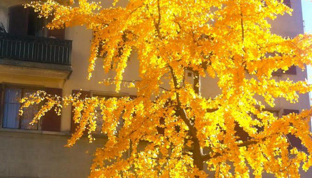 Le soleil des ginkos rue Caroline