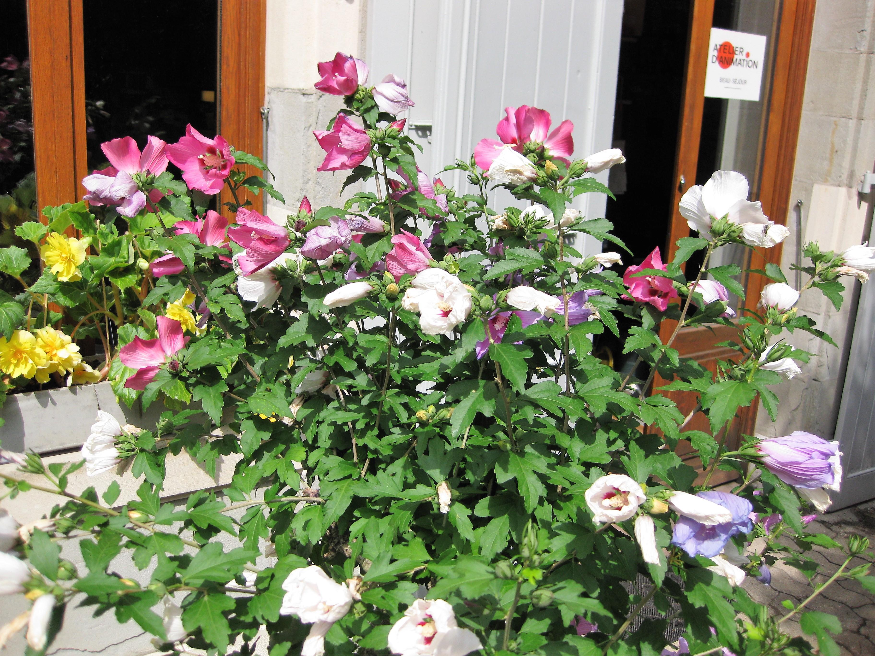 Hibiscus tricolore