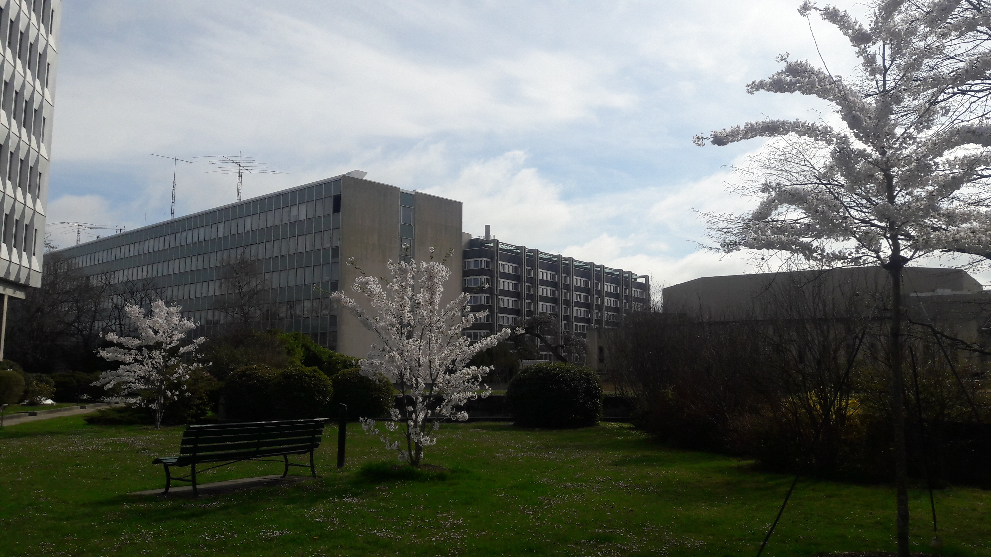 Cerisiers Sakura
