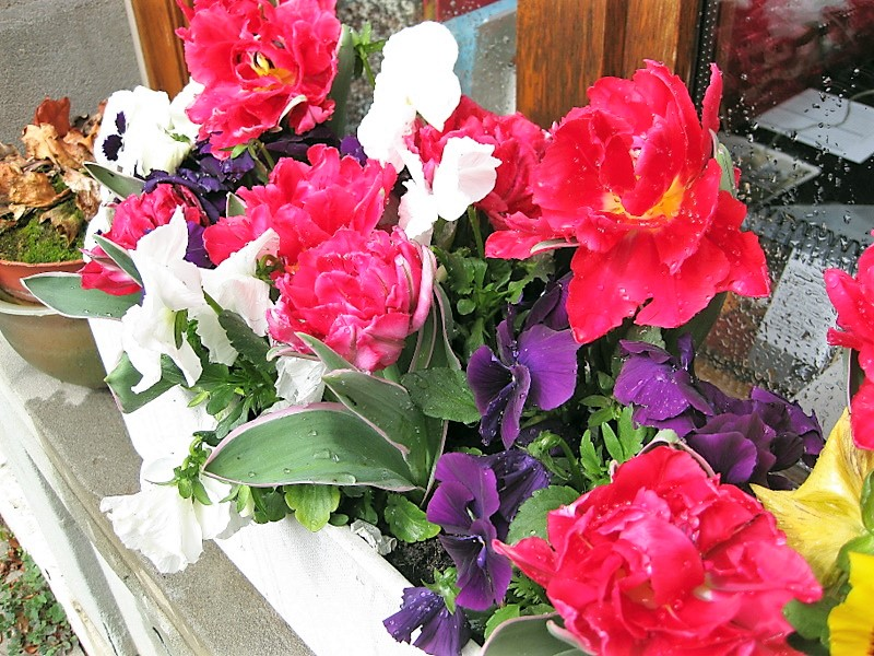Tulipes naines et pensées