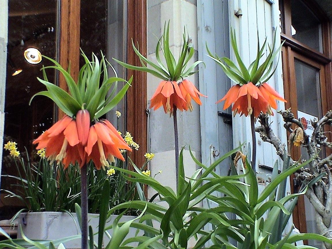 Couronnes impériales (Fritillaria imperialis)