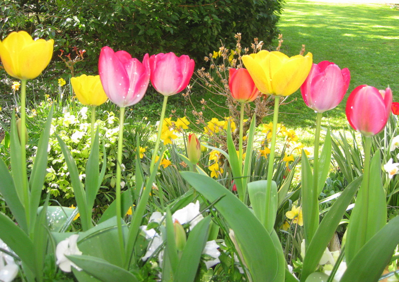 Tulipes dans la rosée du matin