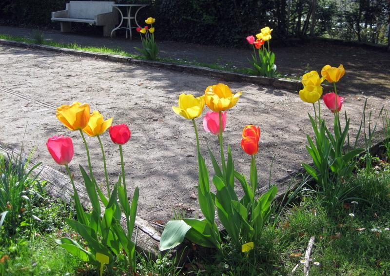 Tulipes autour de la piste de pétanque