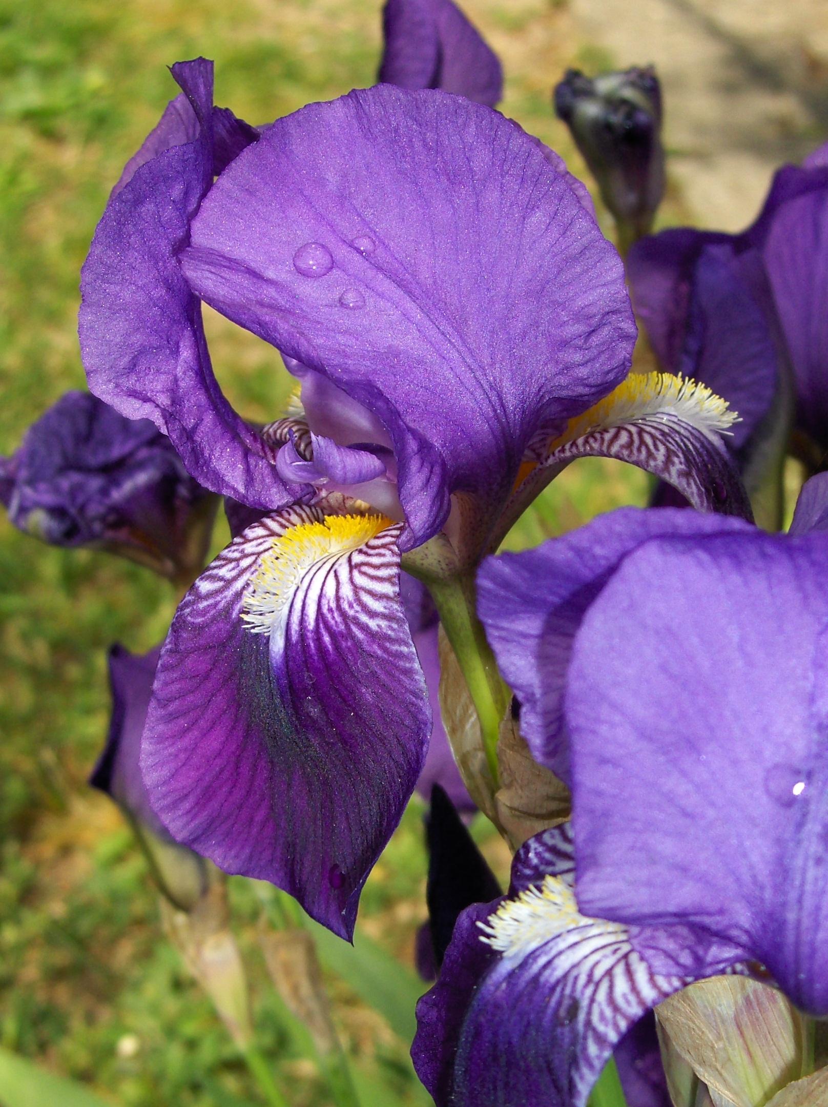 Iris germaniques