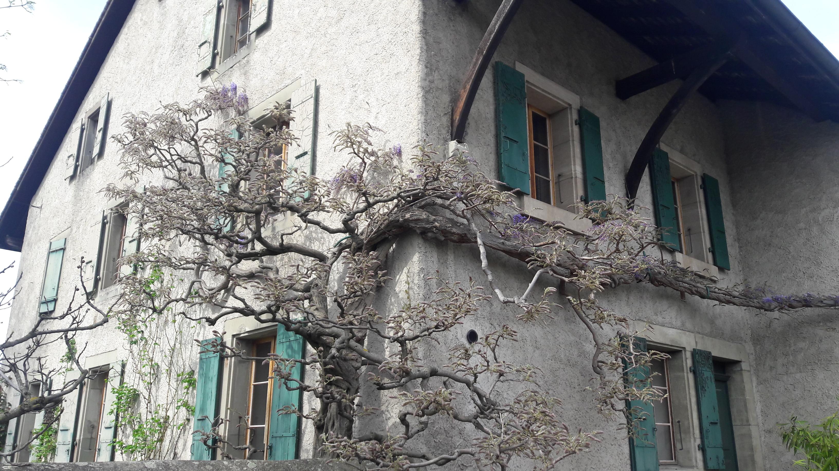 Glycines enlaçant une maison