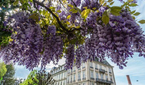 Majestueuse glycine en fleur au pied de la Vieille ville