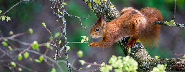 Les écureuils colognotes sont de sortie