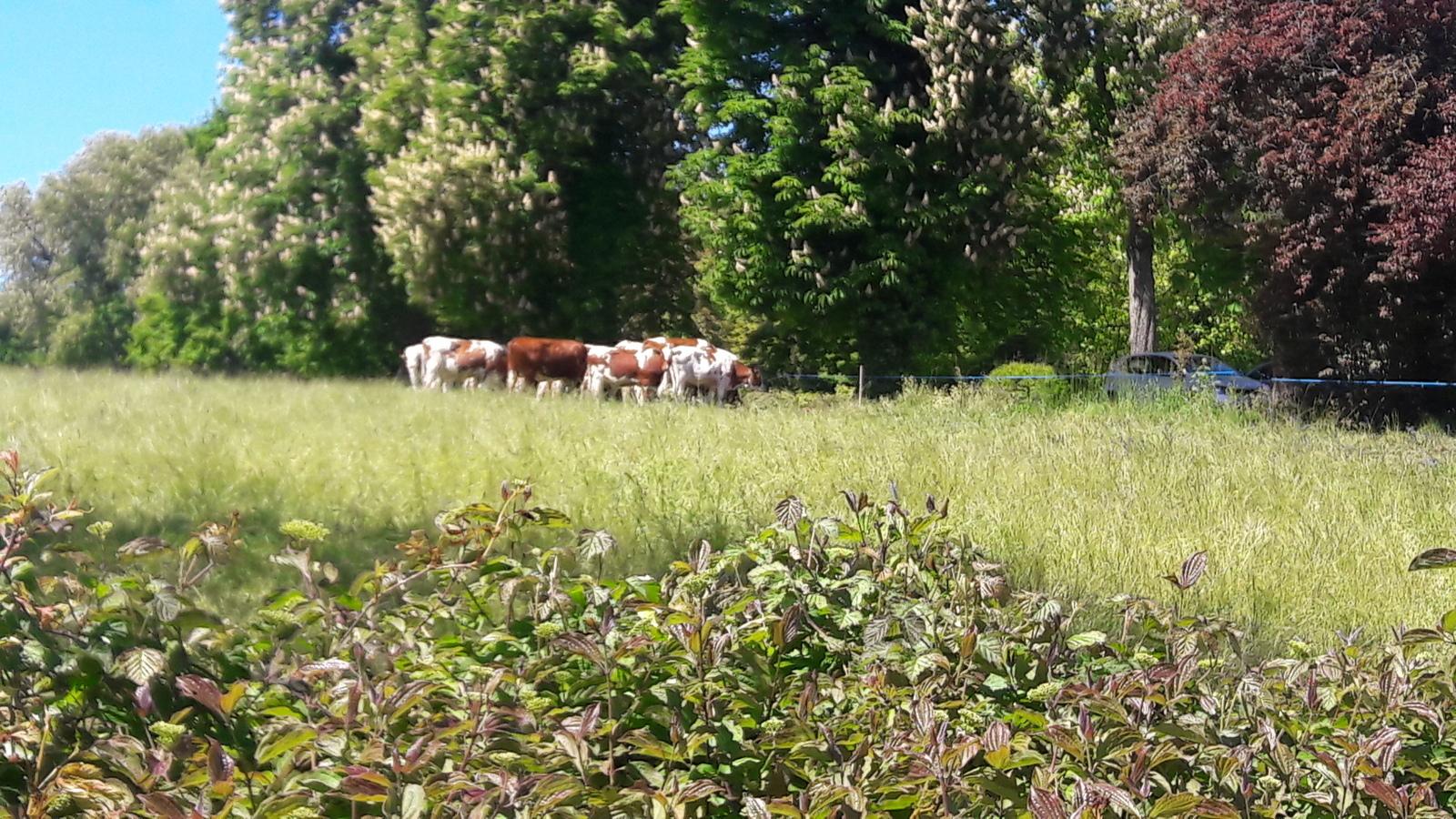 Vaches à Genthod