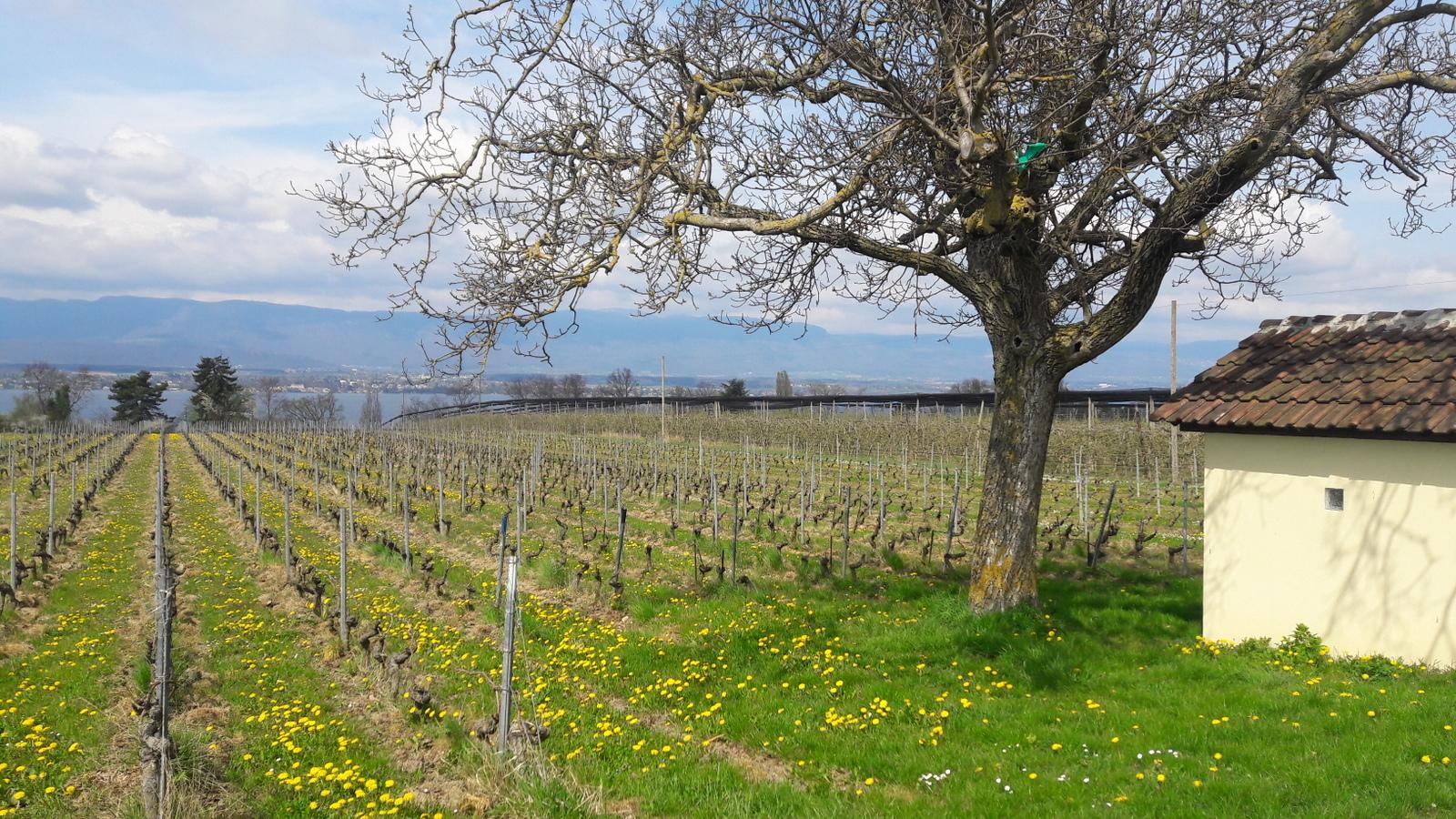 Vignes et lac Léman