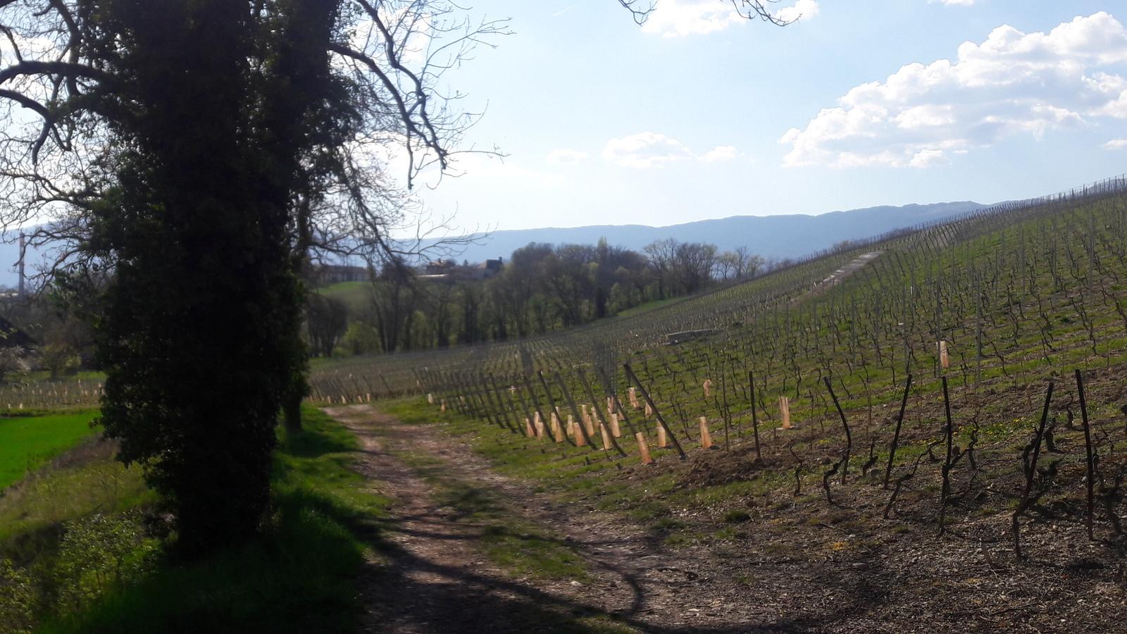 Les vignes à Peney-Dessous