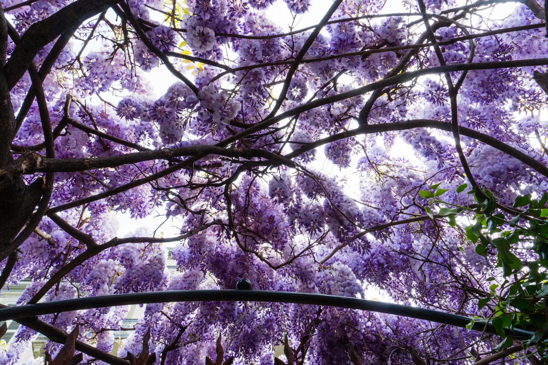 photos glycines fleurs
