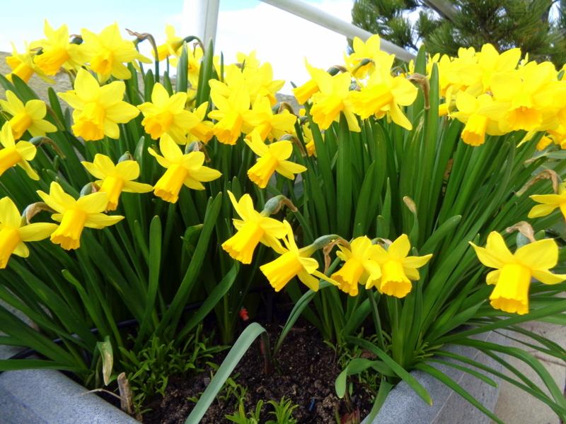 Narcisses 'tête à tête' sur une terrasse