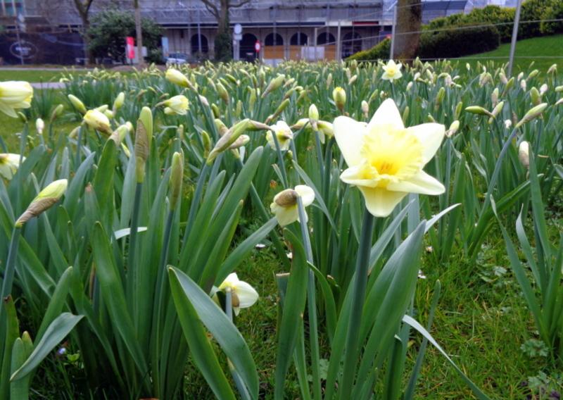 Un 'champ' de jonquilles qui n'attendent que les rayons de soleil pour s'ouvrir. Jardin Anglais