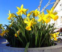Retour du printemps : observons ses premières fleurs annonciatrices !