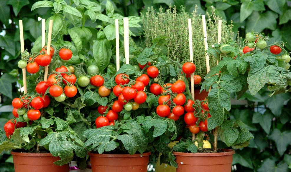Minis tomates cerises en pot, idéales pour un petit balcon