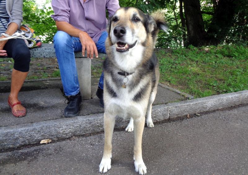Berger Husky Shanci mâle de 10 ans - de la SPA