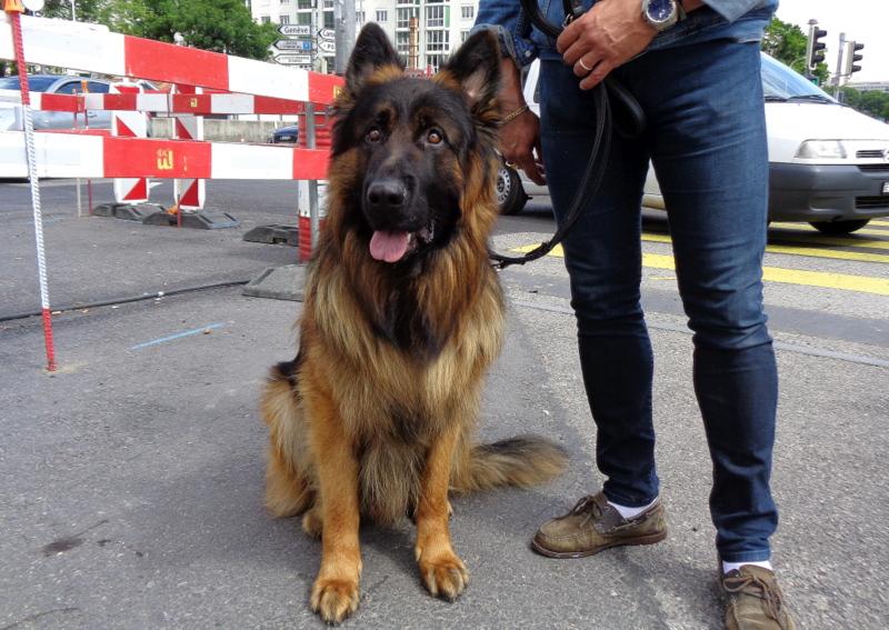 WILLOW - Berger allemand à poil long mâle de 22 mois - Vessy - sort de chez le vétérinaire pour suspicion d'empoisonnement...
