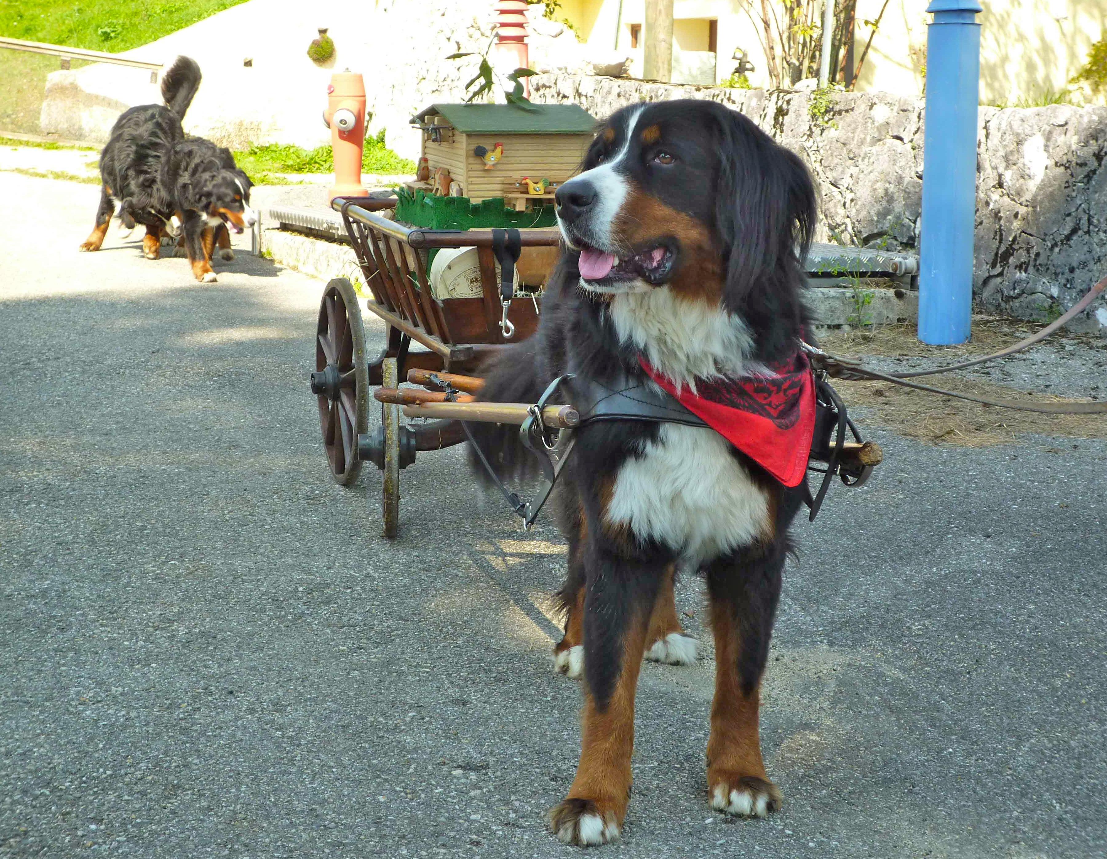 Le défilé des bouviers suisses et du Saint-bernard aura lieu le samedi entre 18h et 20h