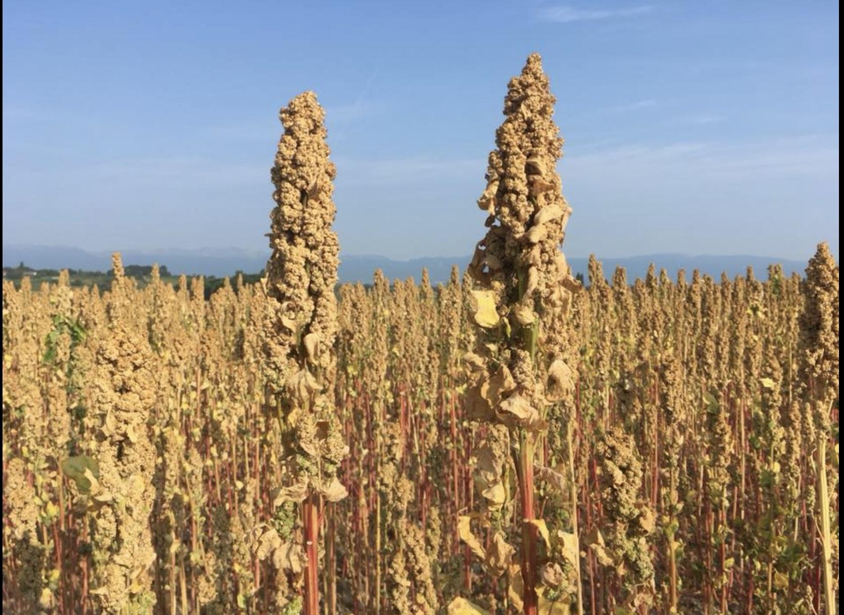 Domaine de l'Abbaye - plant de Quinoa