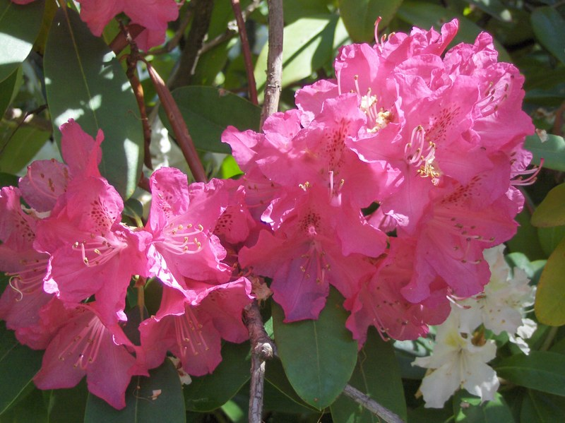 10. Rhododendrons