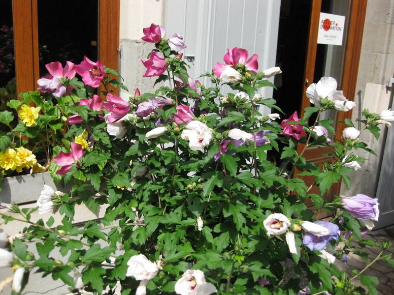 14. Hibiscus tricolore