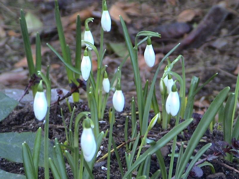 2. Les toutes premières fleurs de printemps, les perce-neiges