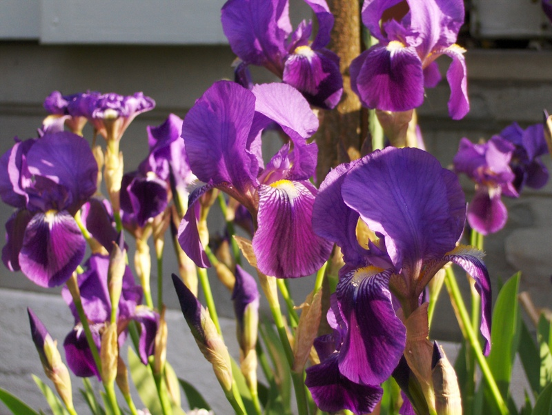 8. Massif d'iris