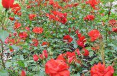 Les fleurs du parc de l'Hôpital Beau-Séjour