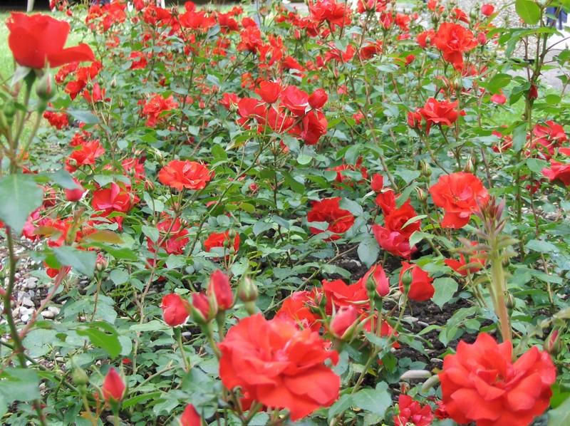 9. Massif de rosiers