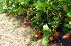 Plaisir d'été : à la fraisière !