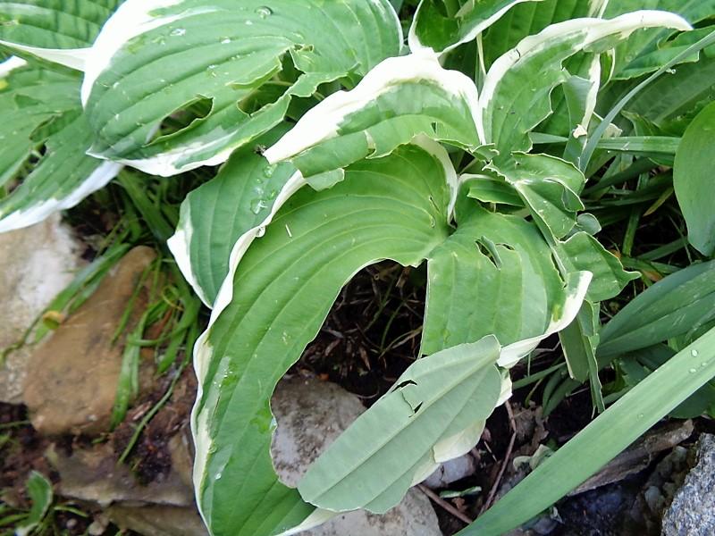 Les feuilles de Hostas déchiquetées