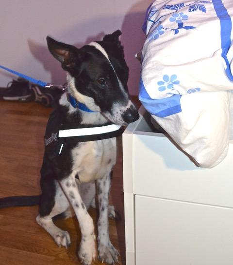 Patty, chien spécialisé dans la recherche de punaises de lit.© DR