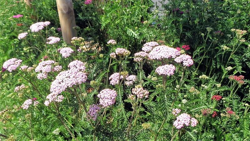 D'autres fleurs le long de la route de Veyrier. Chaque mois diverses variétés s'épanouiront.
